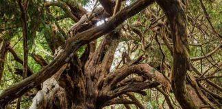 Mơ thấy cây cổ thụ - Ngủ mơ thấy cây cổ thụ đánh con gì chuẩn xác