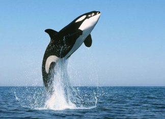 Nằm mơ thấy cá voi là điềm gì? Đánh lô đề con nào?