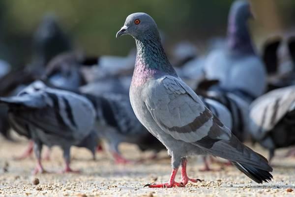 Nằm mơ thấy chim bồ câu đánh số mấy đánh con gì?