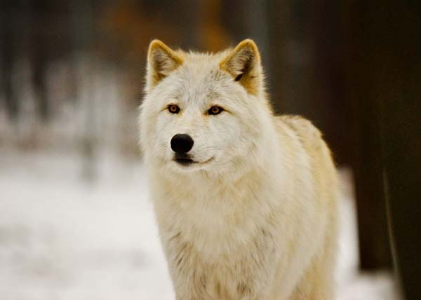 Nằm mơ thấy chó sói là điềm báo gì? đánh số mấy
