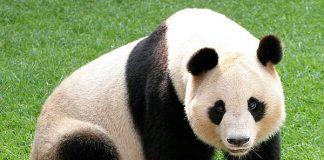 Mơ thấy gấu là điềm báo lành hay dữ?