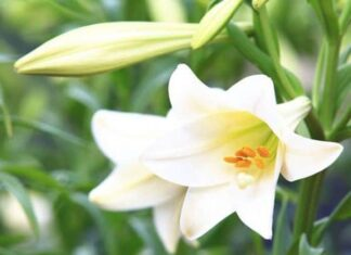 Mơ thấy hoa huệ là điềm dữ hay lành? Đánh con nào vào bờ?