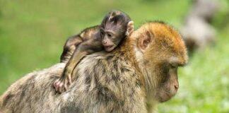Mơ thấy khỉ là điềm báo điều gì?