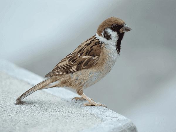 nằm mơ thấy chim sẻ