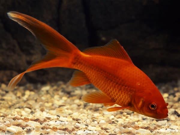 Nằm mơ thấy cá vàng đánh xổ số con gì dễ trúng