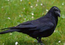 Mơ thấy quạ đen điềm báo lành hay dữ?