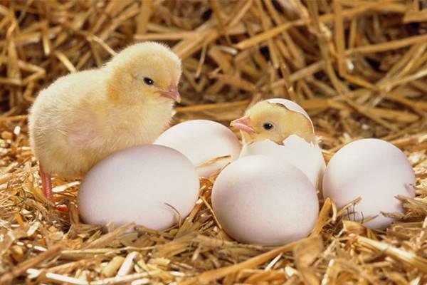Nằm mơ thấy trứng gà đánh con gì đánh số nào hôm nay
