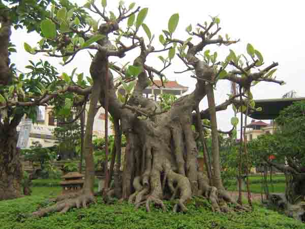 Nằm mơ thấy cây đa đánh con gì dễ trúng, có điềm báo gì