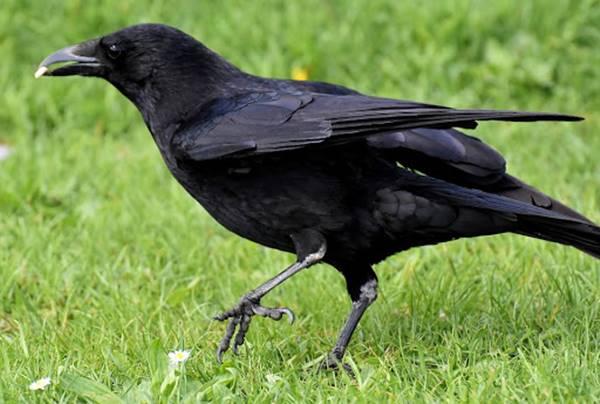 Nằm mơ thấy con quạ là điềm báo gì? Đánh con số mấy