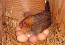 Nằm mơ thấy gà đẻ trứng đánh con gì?